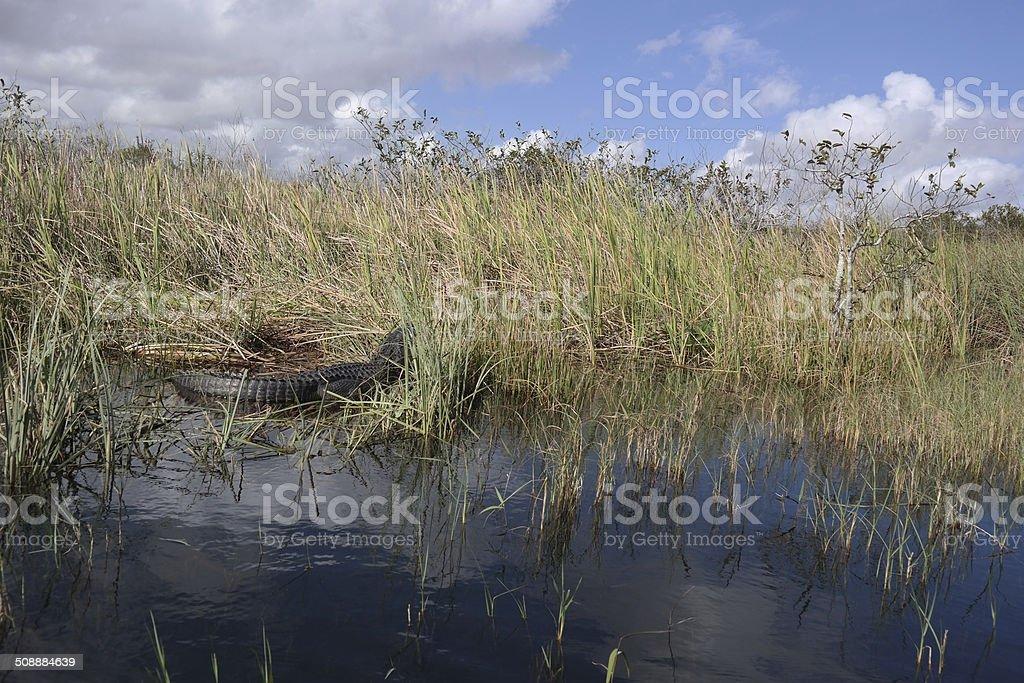 Aligator Everglades photo libre de droits