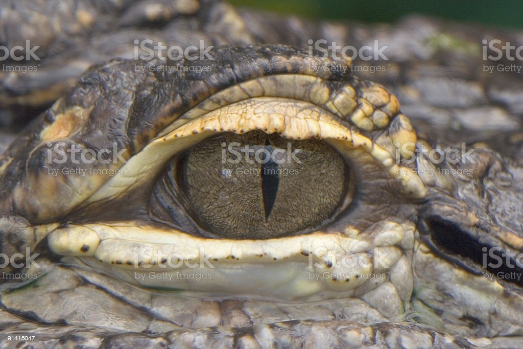 Aligator eye stock photo