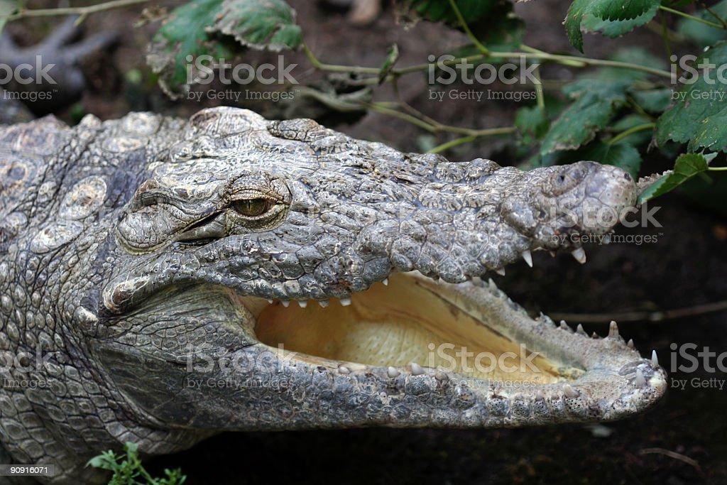 ALigator stock photo
