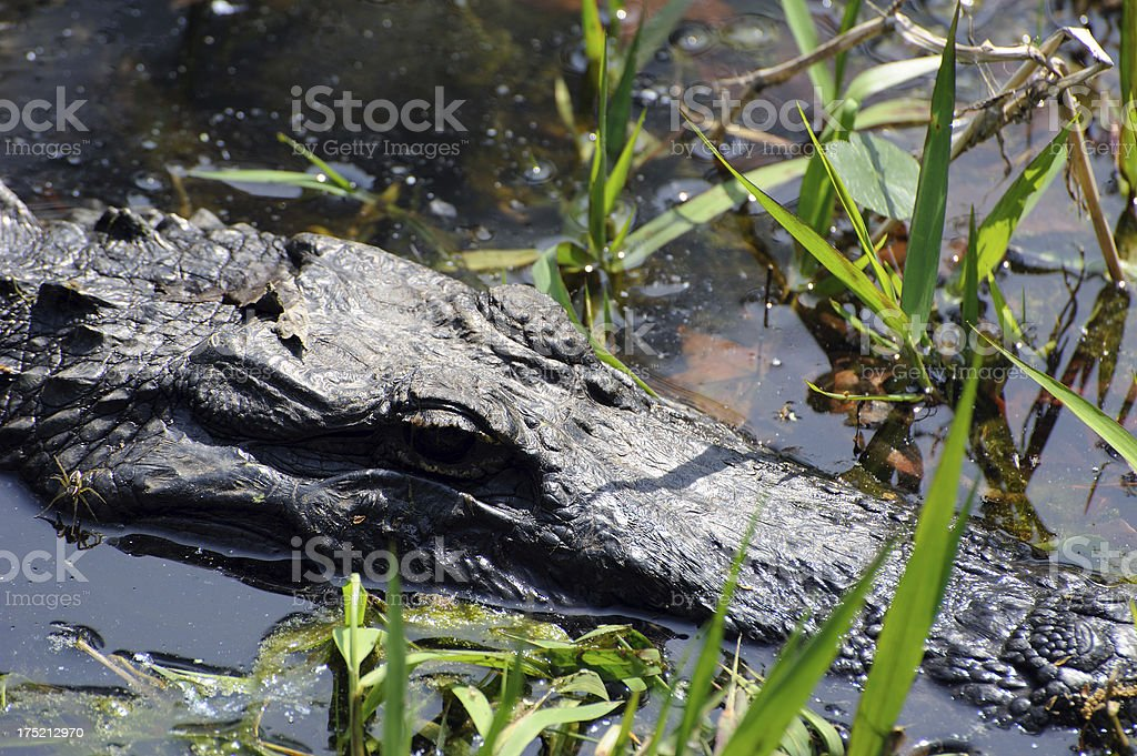 Aligator & Spider royalty-free stock photo