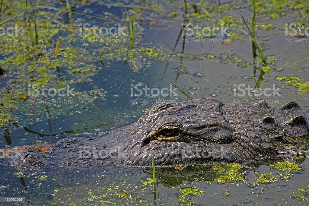 Aligator Swiming On A Pond royalty-free stock photo