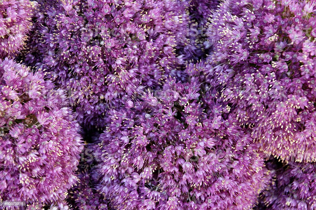 Alium Giganteum Flower Heads stock photo
