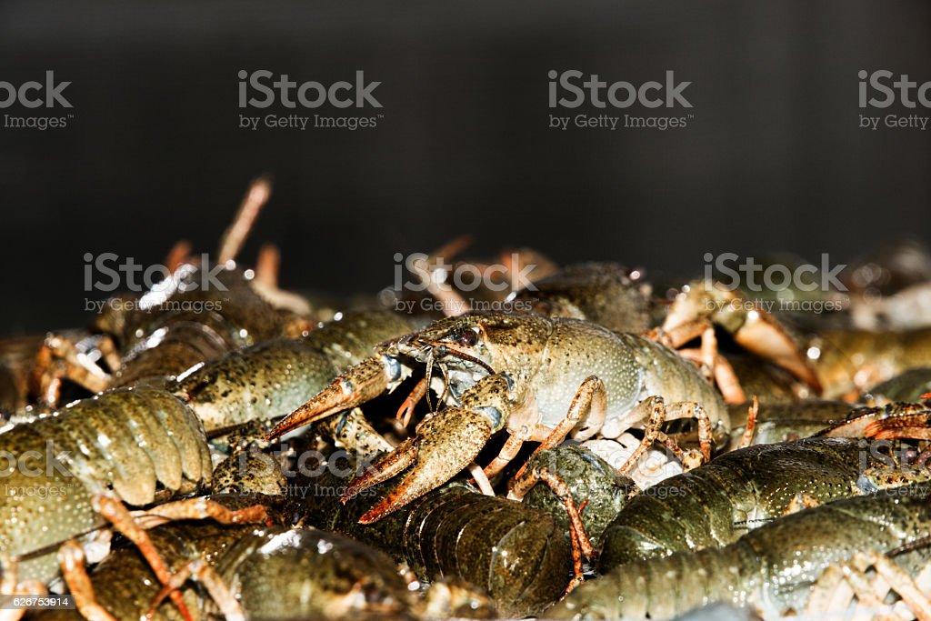 Alive crayfish closeup. stock photo