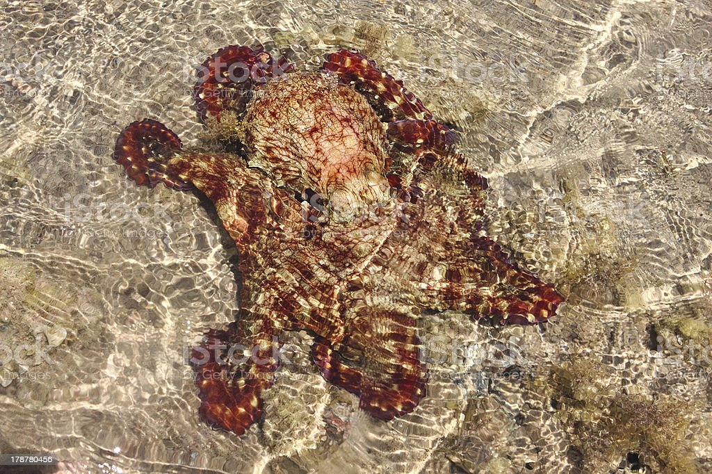 Alive red octopus trapped in shoal water during low tide royalty-free stock photo