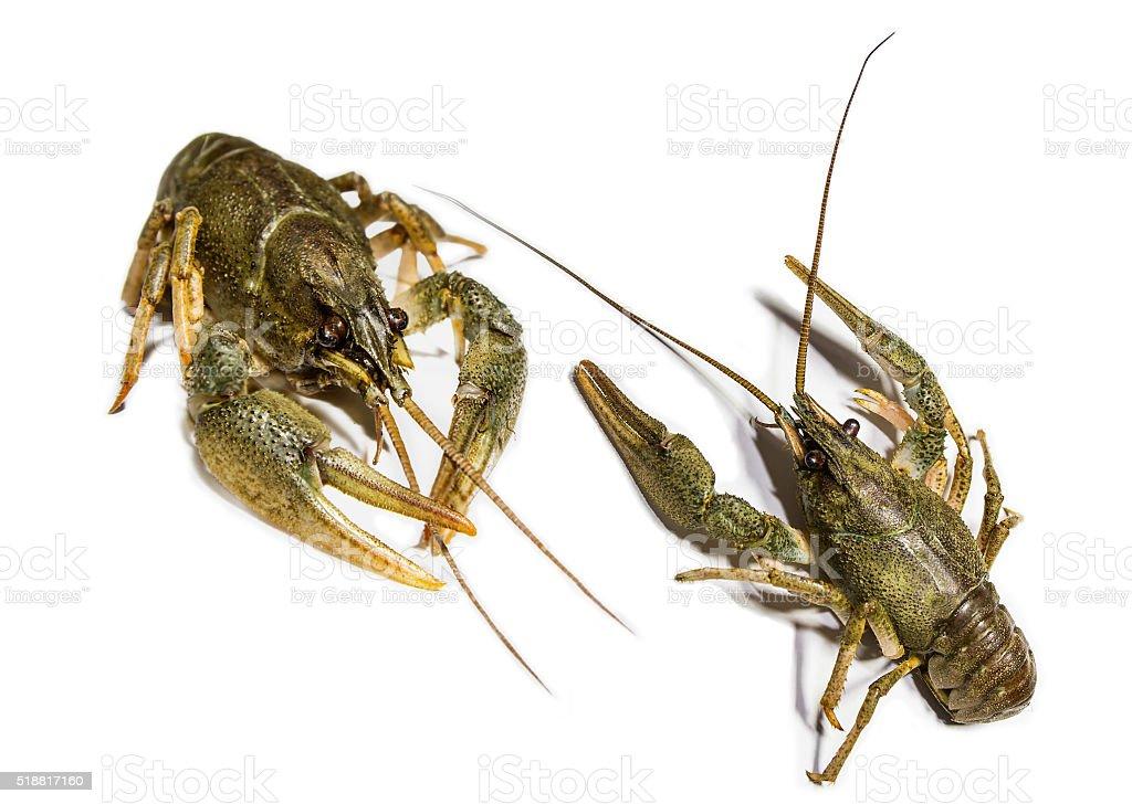 Alive river crawfish stock photo