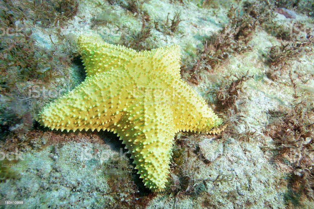 Alive yellow starfish underwater royalty-free stock photo