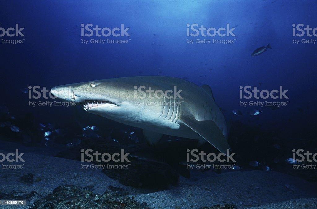 Aliwal Shoal, Indian Ocean, South Africa, sand tiger shark stock photo