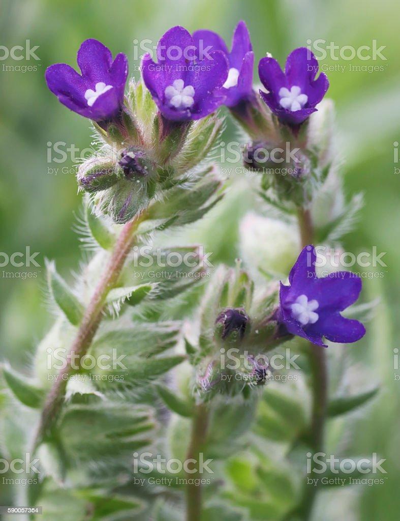 Alkanet (Anchusa officinalis) stock photo