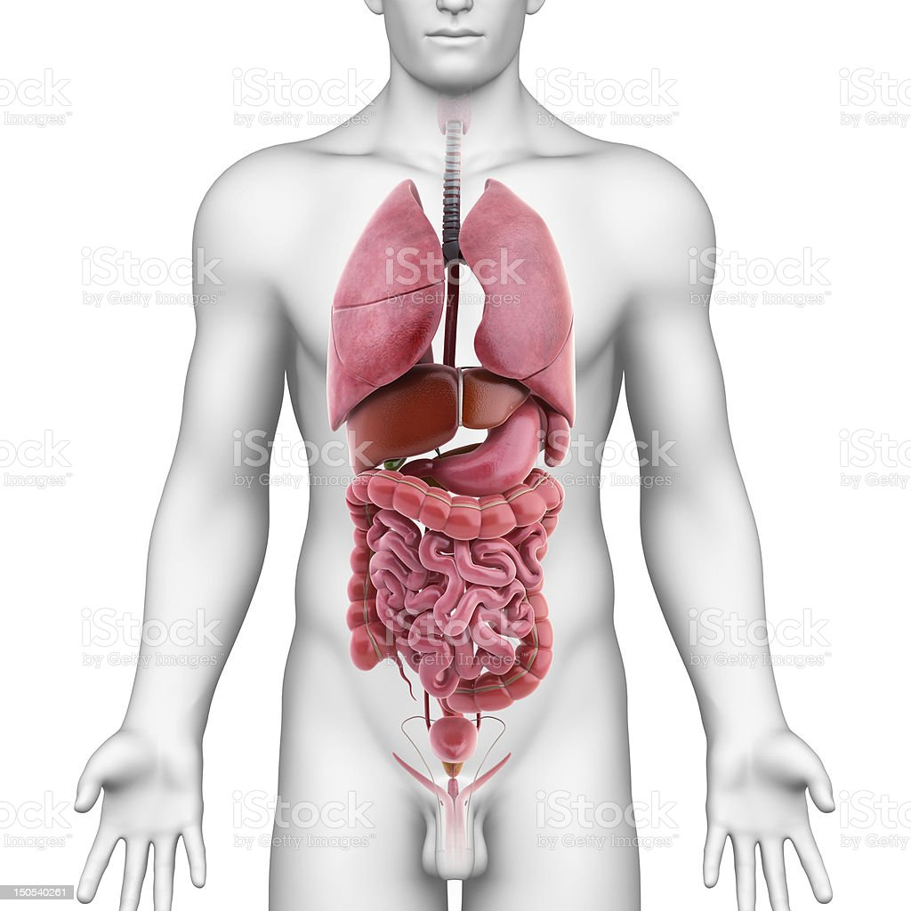 all internal organs of male body stock photo
