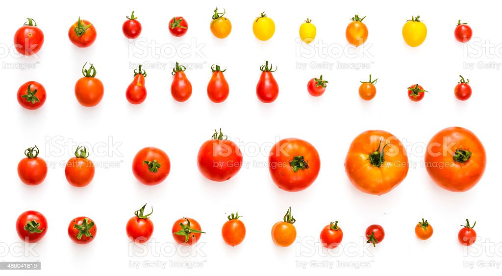 all kinds of tomatos isolated on white background stock photo