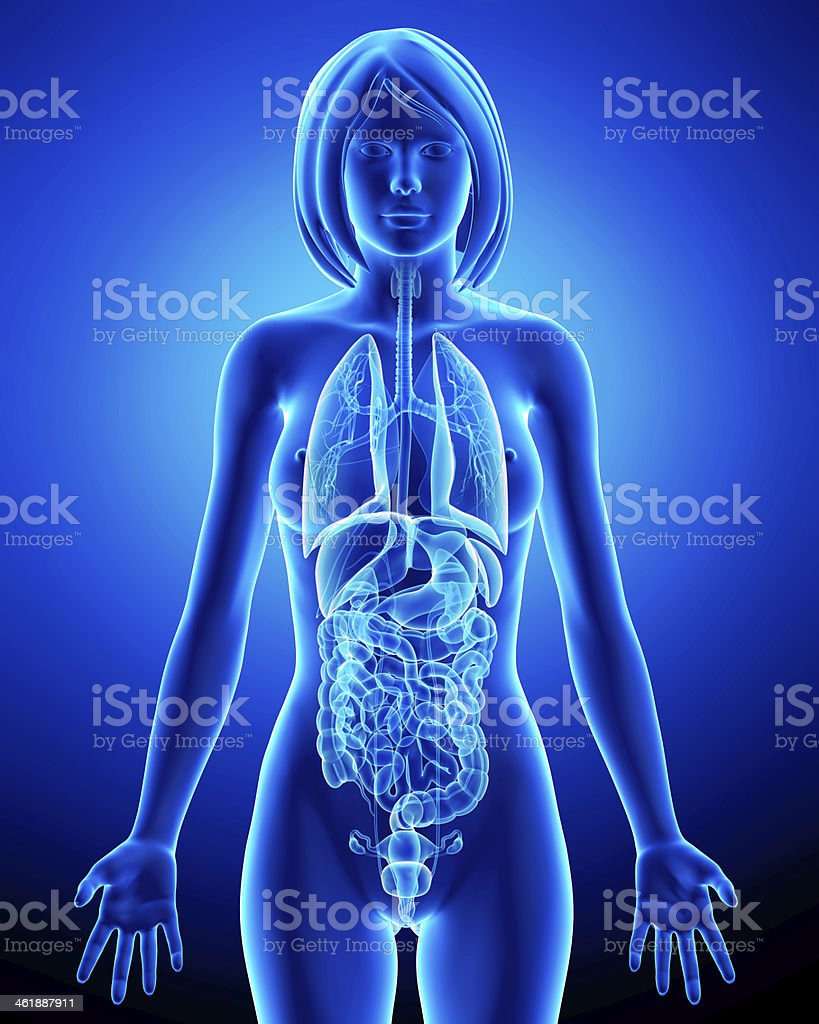 All organs of female body in blue x-ray loop stock photo