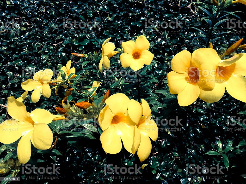 allamanda beautiful yellow flower with leaves in background royalty-free stock photo