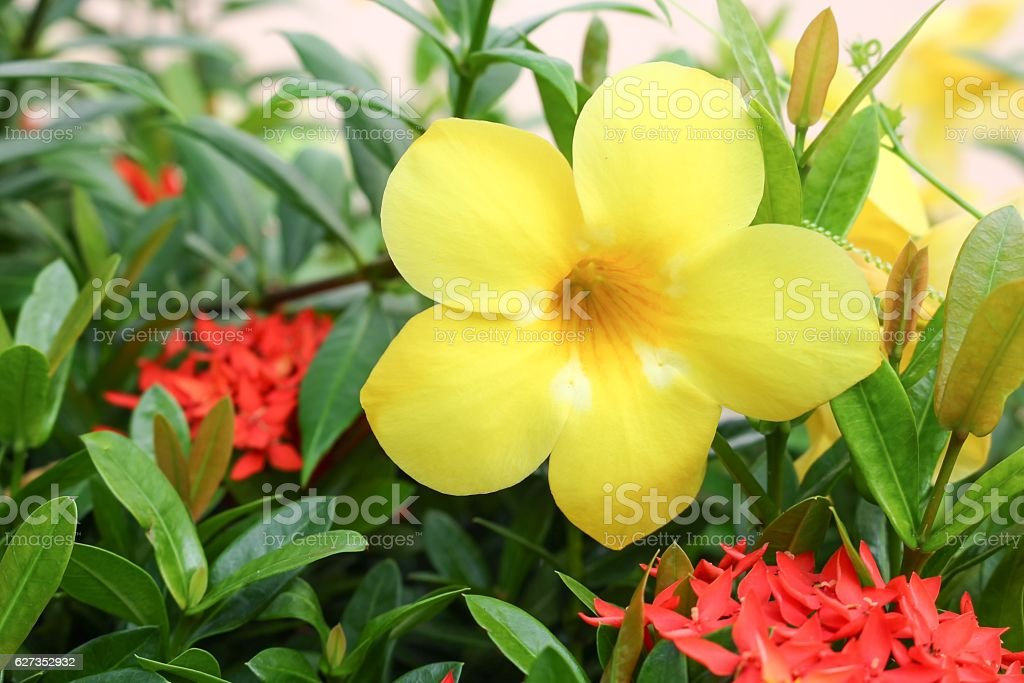 Allamanda cathartica flower or Golden Trumpet stock photo