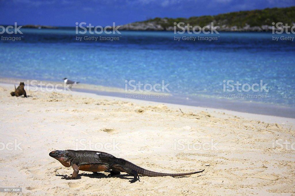 Allan's Cay Iguana stock photo