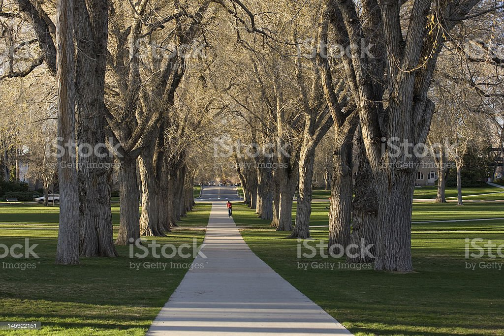 Alleey with old American elm trees stock photo