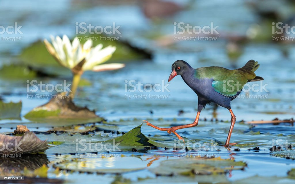 Allen's Gallinule, Botswana stock photo