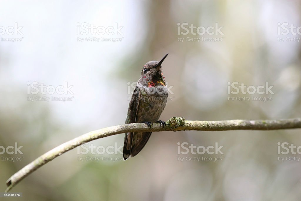 Allen's Hummingbird on Branch royalty-free stock photo