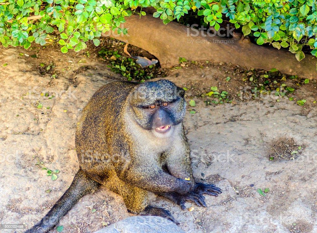 Allen's swamp monkey stock photo