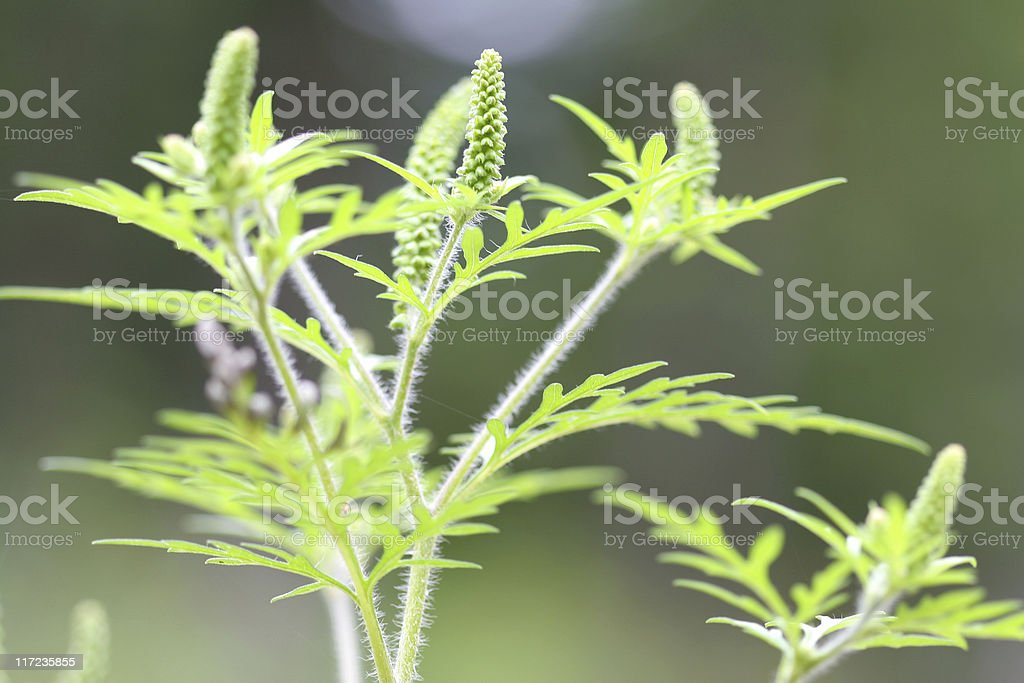 allergy producing ragweed stock photo