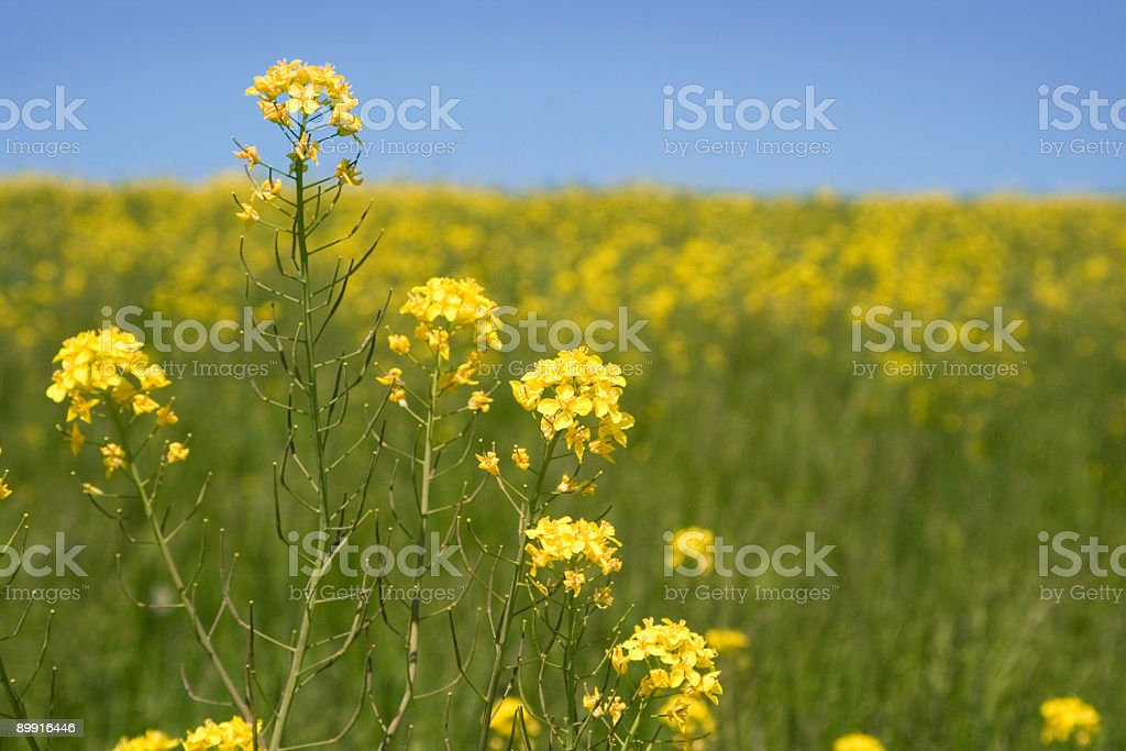 Allergy Season Closeup of Rapeseed over Field of Flowers stock photo