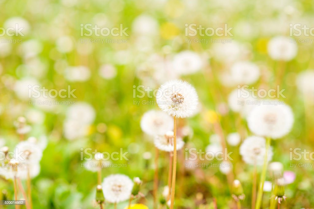 Allergy time - dandelion and grass in summer stock photo