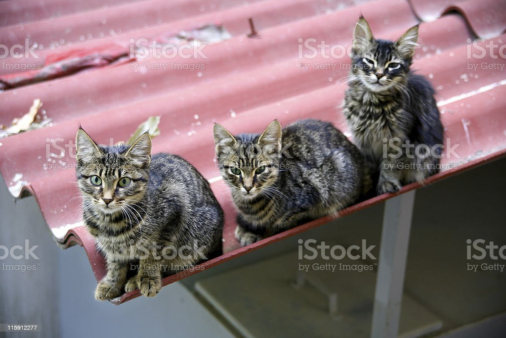 Alley cats royalty-free stock photo