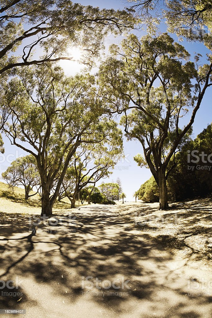 Alley in Sunlight Eucalyptus Trees stock photo