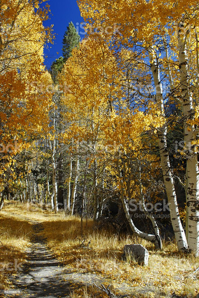 Alley lined by autumn aspens near June Lake stock photo
