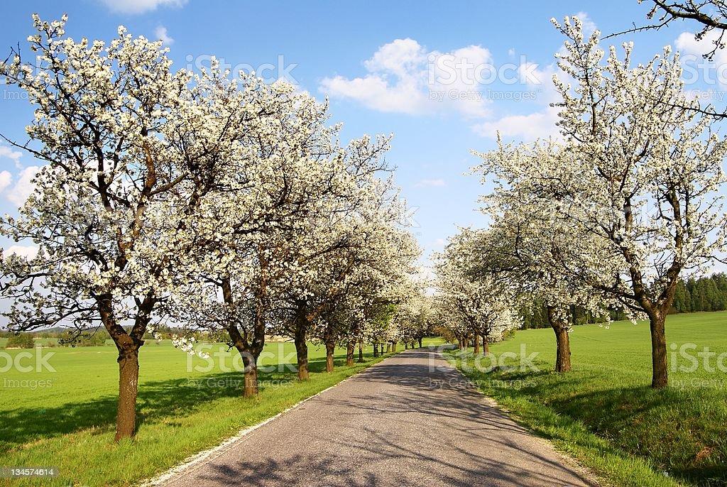 Allée d'arbres de cerisiers photo libre de droits