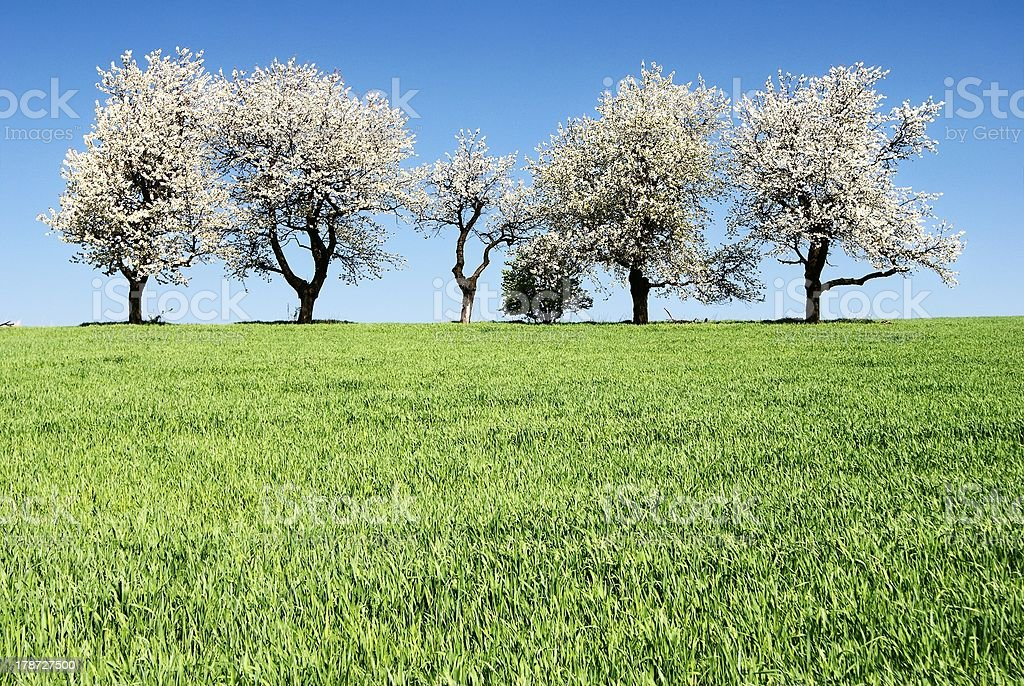 alley of flowering cherry-trees and green spring corn field royalty-free stock photo