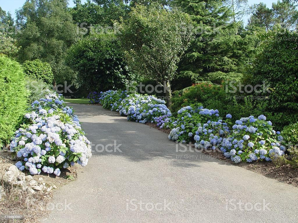 Alley of hydrangea royalty-free stock photo