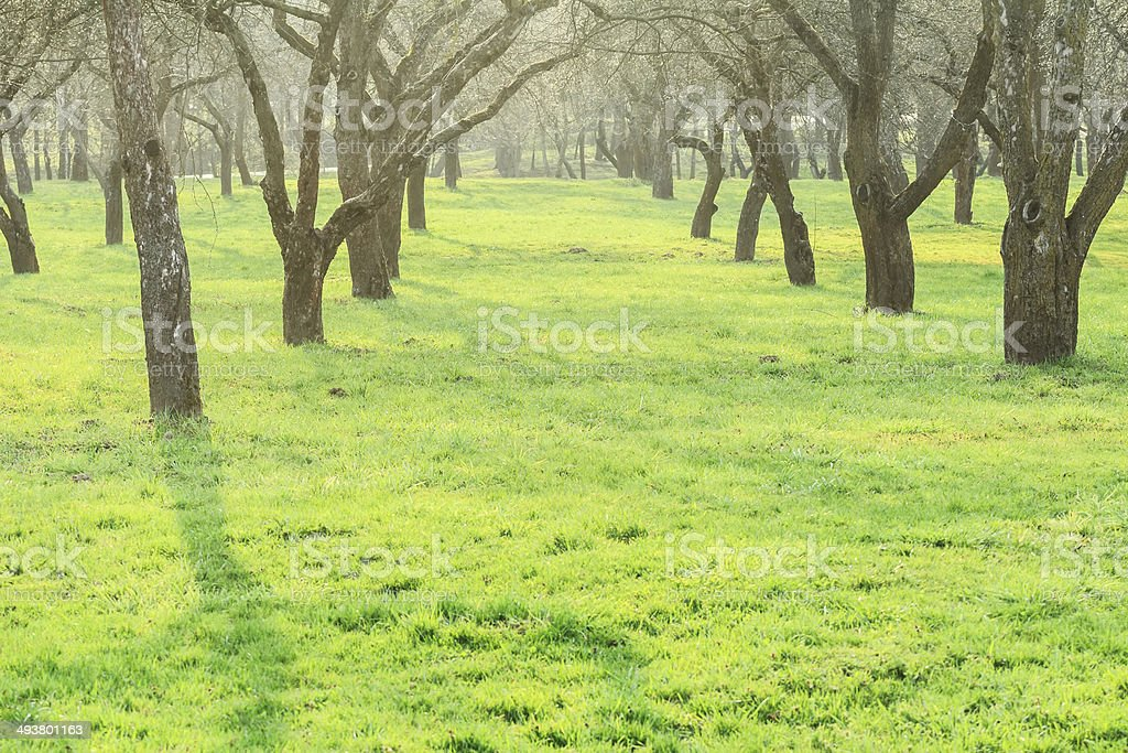 Alley of naked fruit trees in early spring arboretum stock photo