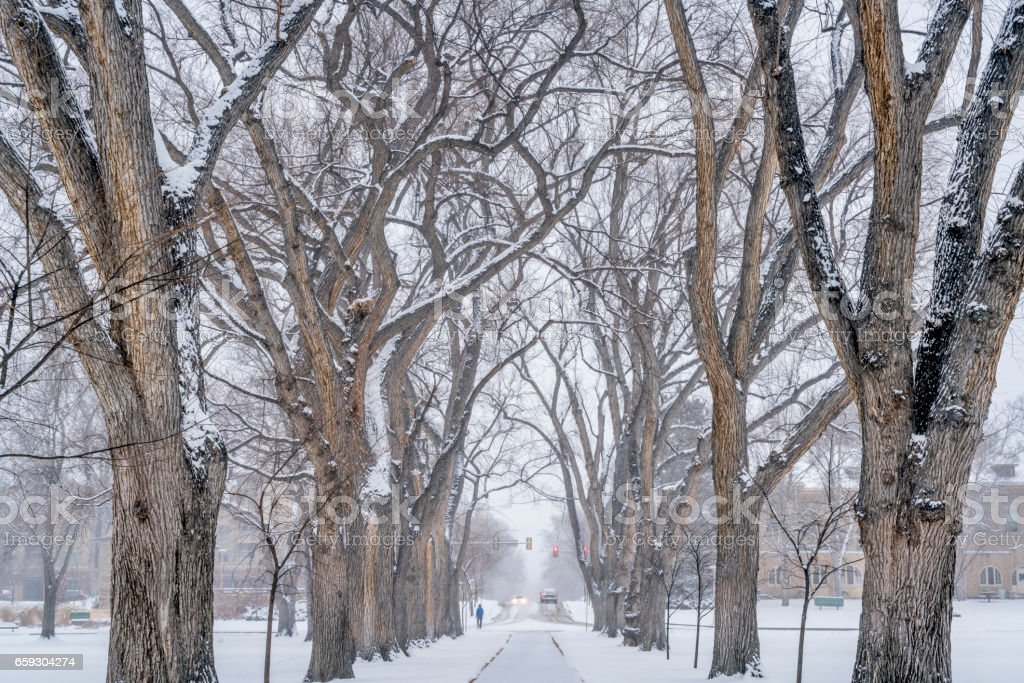 alley of old elm trees at university campus stock photo