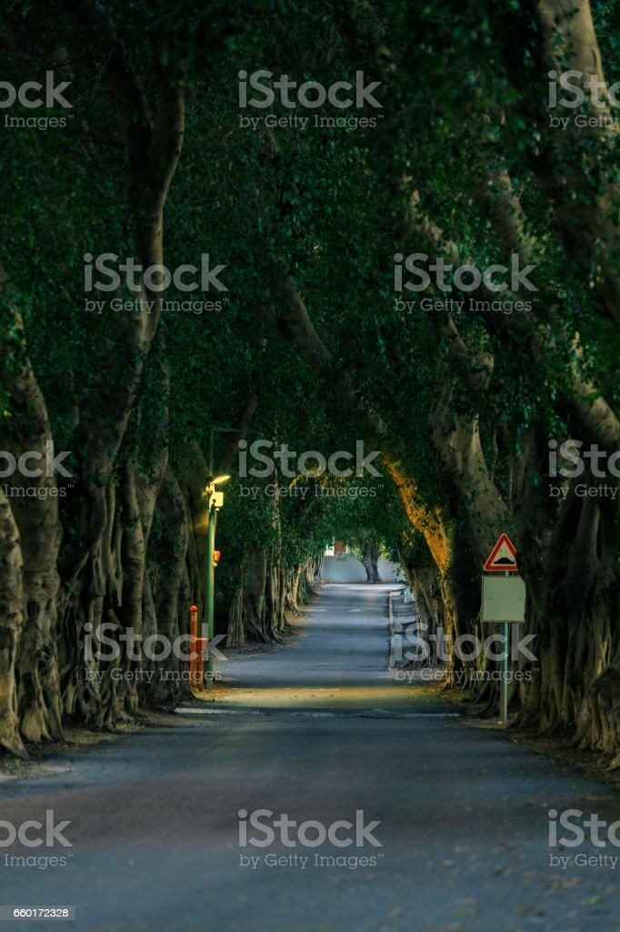 Alley of old trees in the evening stock photo