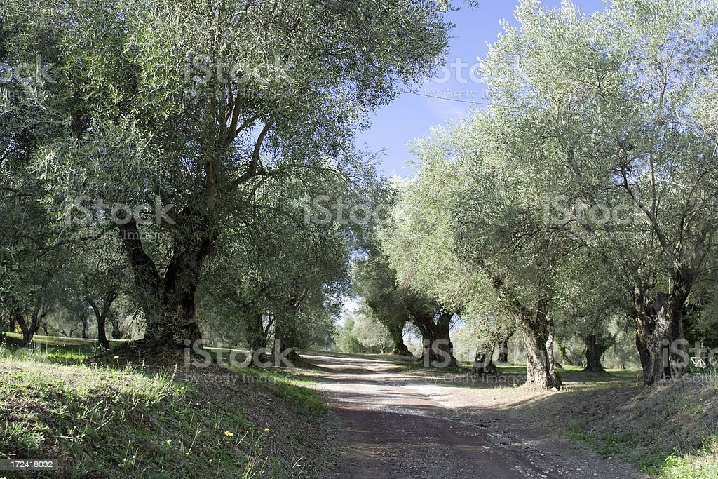 Alley of olive trees royalty-free stock photo