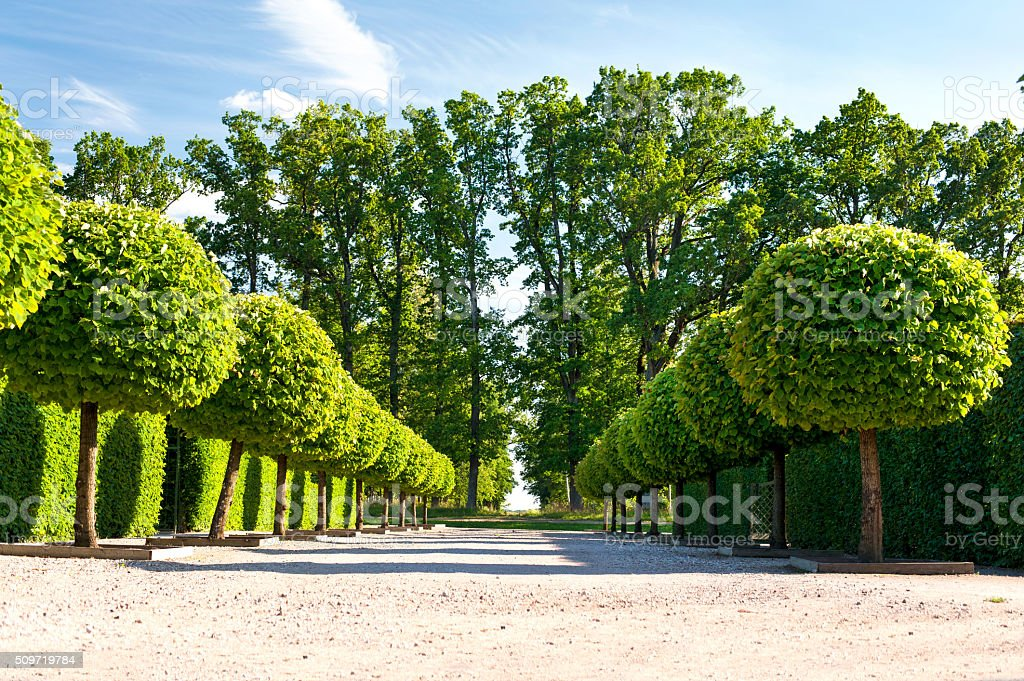 Alley of topiary green trees in ornamental Rundale royal garden. stock photo