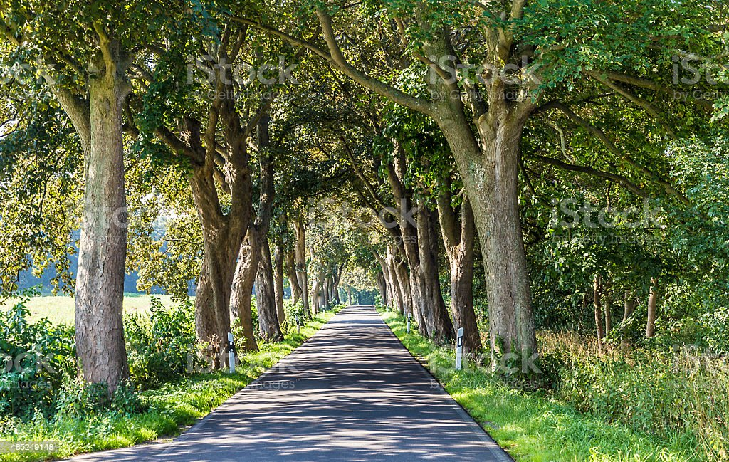 alley with old oak trees and old road in Usedom stock photo
