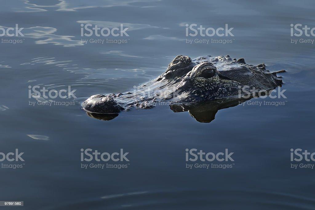 Alligator approaching stock photo