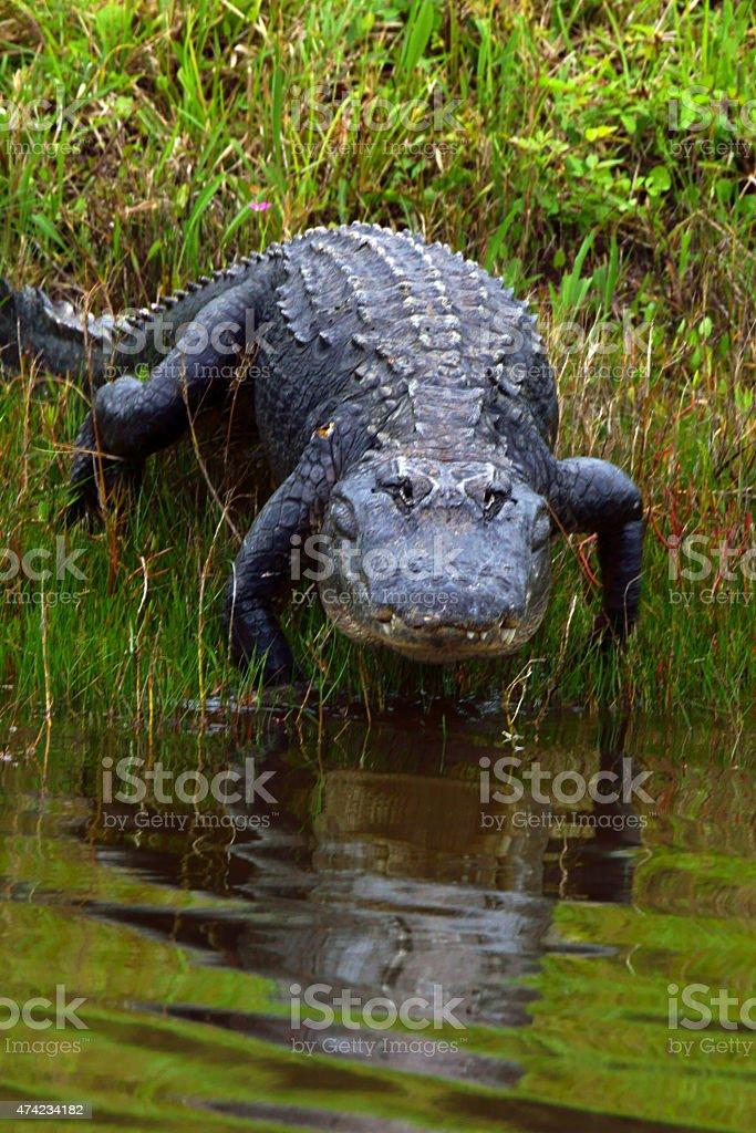 Alligator at Florida Swamp stock photo