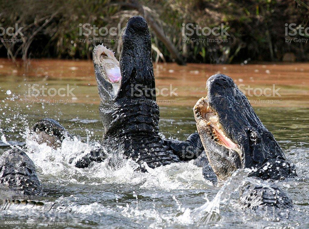 alligator attack stock photo