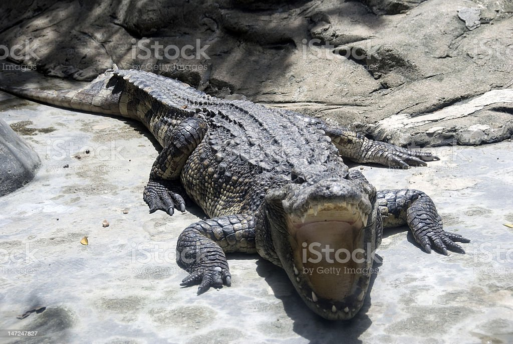 Alligator bare its teeth royalty-free stock photo
