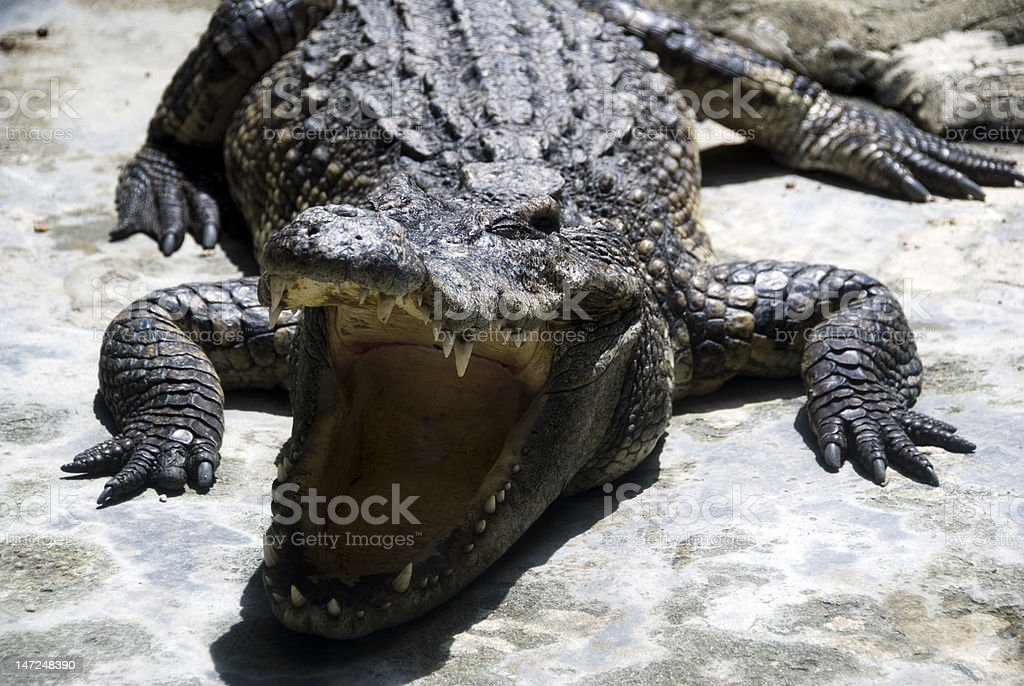 Alligator bare its teeth royalty-free stock photo