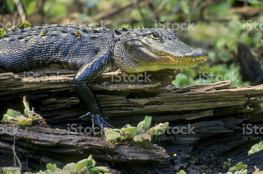 Alligator Basking stock photo