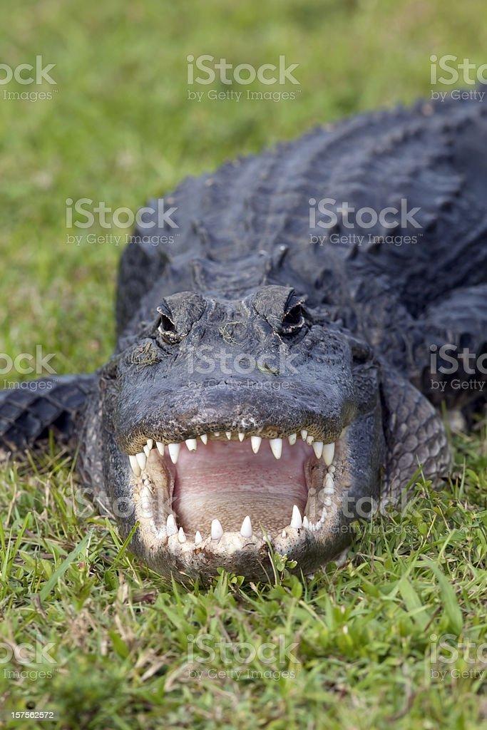 Alligator Bite stock photo