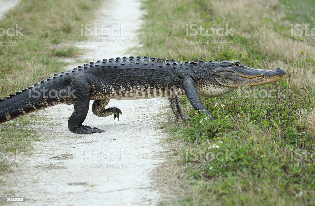 Alligator crossing a dirt road. stock photo