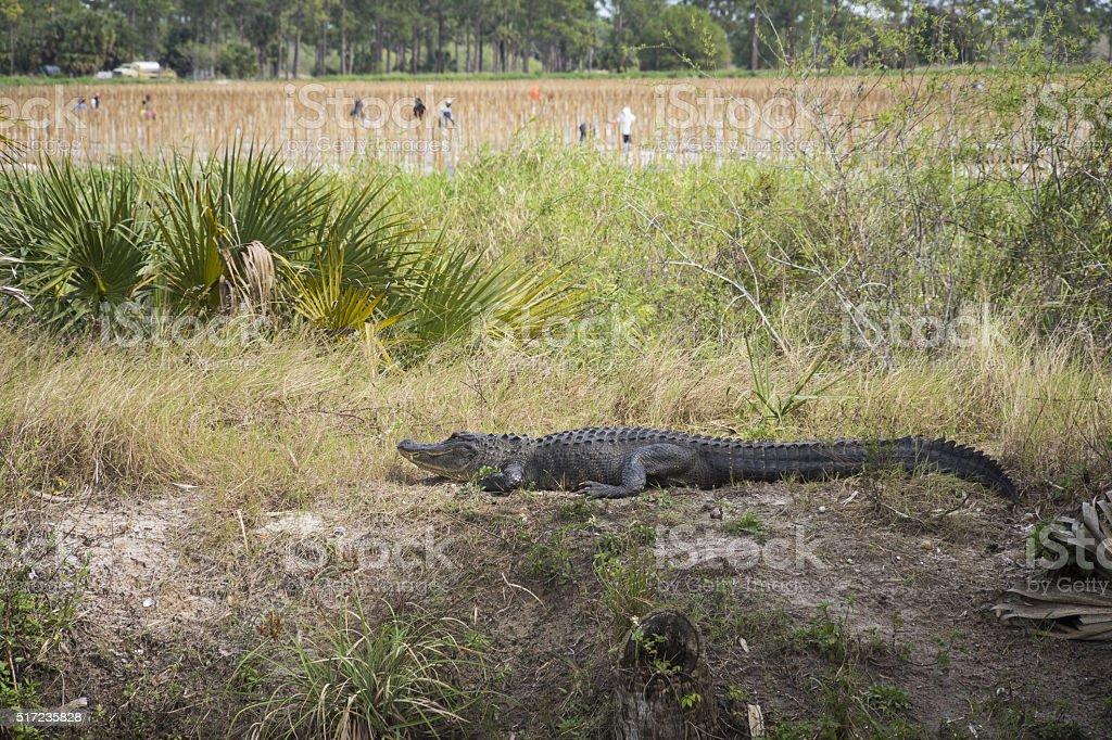 Alligator enjoying the sunnear a field close to Immokalee, Florida. stock photo