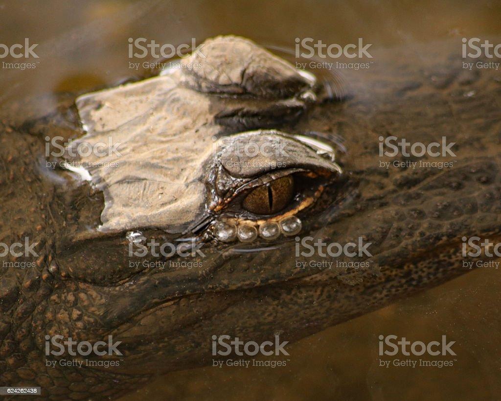 Alligator les yeux  photo libre de droits
