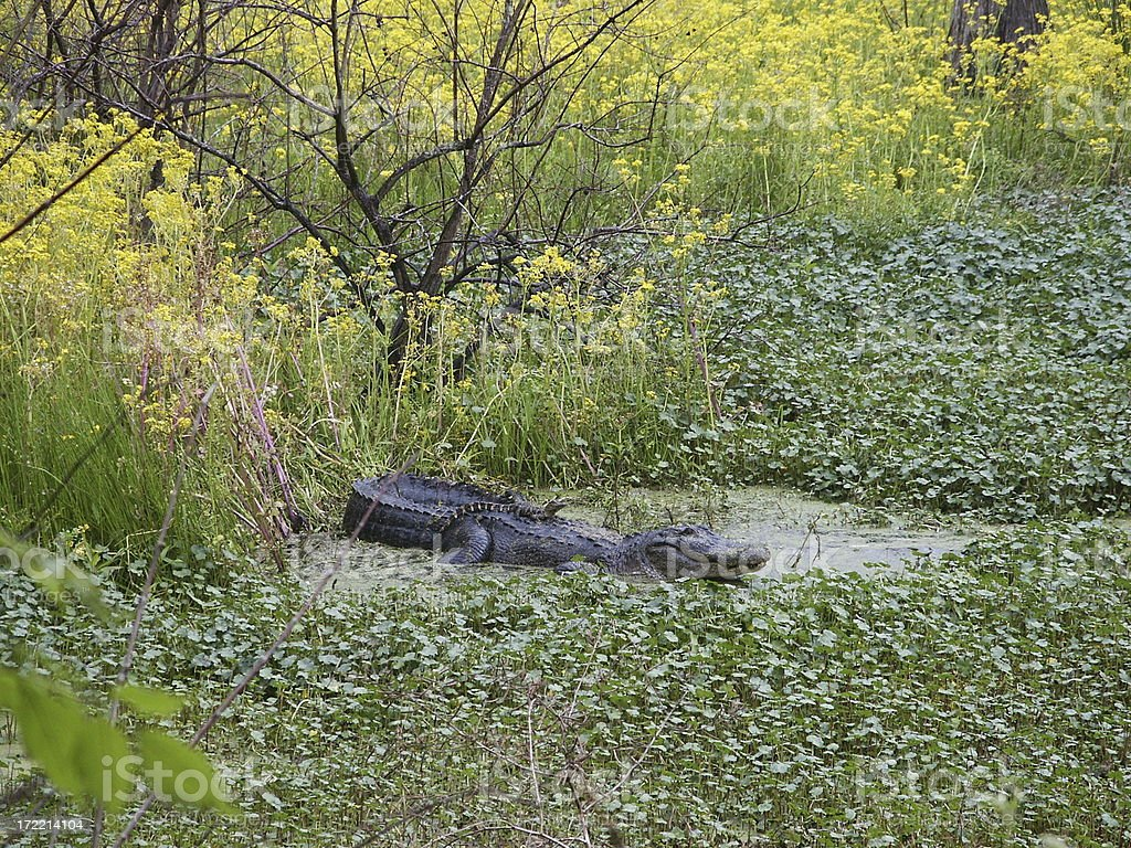 Alligator familly royalty-free stock photo