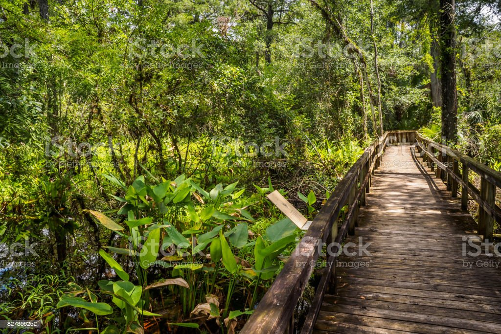 Alligator Flag - Thalia geniculata. Big Cypress Bend Boardwalk stock photo