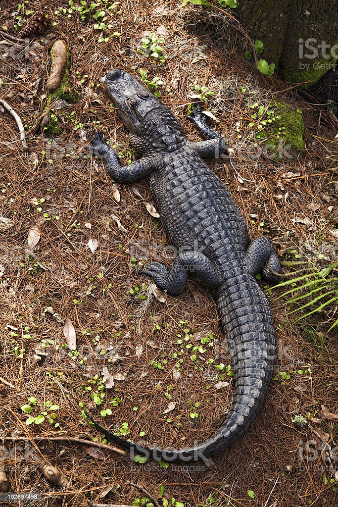 Alligator from above stock photo